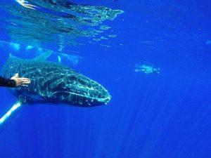 Nuotare con le balene: esperienza unica alle Tonga
